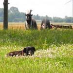 pies-stojkowo_lipiec-2012